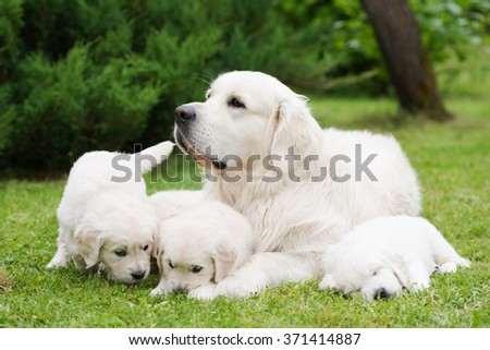 golden retriever dog with puppies - stock photo