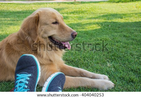 Golden retriever dog with Running shoes  - stock photo