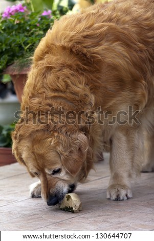 Golden retriever eating a bone. - stock photo