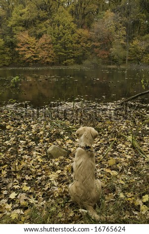 golden retriever enjoying the fall view at the lake - stock photo