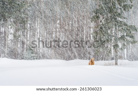 Golden retriever in blizzard like conditions. - stock photo