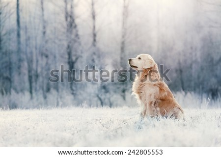 Golden Retriever in frost - stock photo