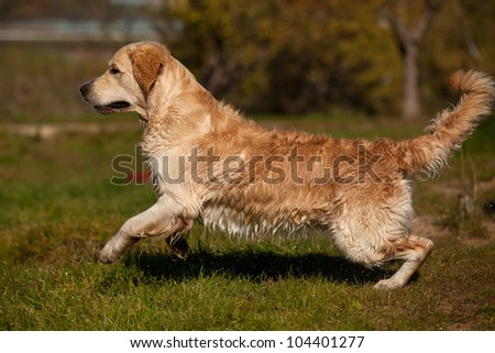Golden retriever in outdoor settings - stock photo
