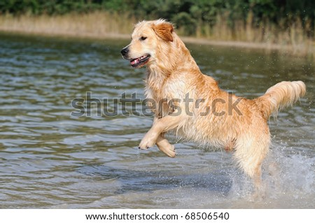 Golden Retriever is happy on the beach - stock photo