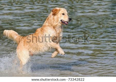 Golden Retriever is happy on the beach - stock photo