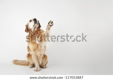 Golden retriever is sitting and greeting on the white background - stock photo
