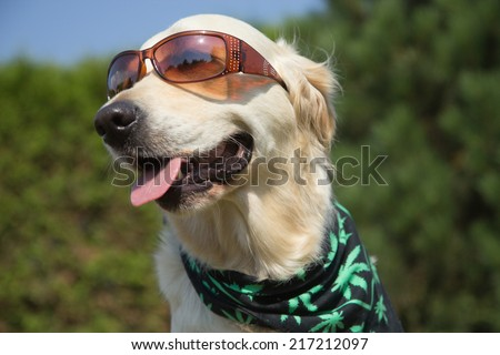 Golden Retriever is smiling for the camera. Sunglasses has on his eyes and scarf textured with cannabis leaves has around his neck.  - stock photo
