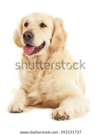 Golden retriever, isolated on white - stock photo