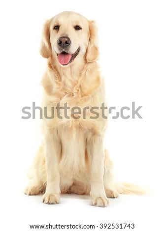 Golden retriever, isolated on white - stock photo