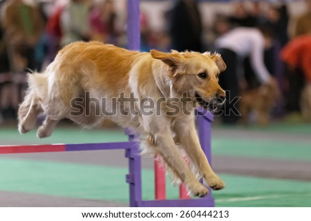 Golden retriever leap over a fence at dog agility contest.  - stock photo