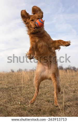 Golden retriever leaping for orange ball - stock photo