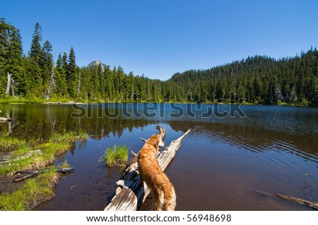 Golden Retriever looking out into gorgeous Lodge Lake in western Washington on a beautiful sunny day - stock photo