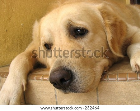 Golden Retriever Looking Pitiful - stock photo