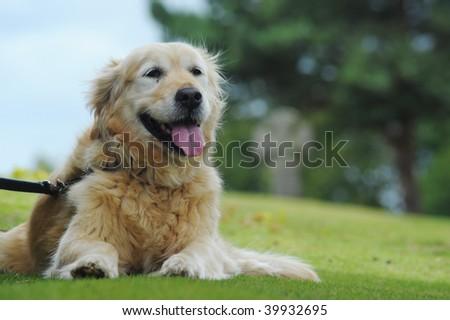Golden retriever lying down waiting for owner - stock photo