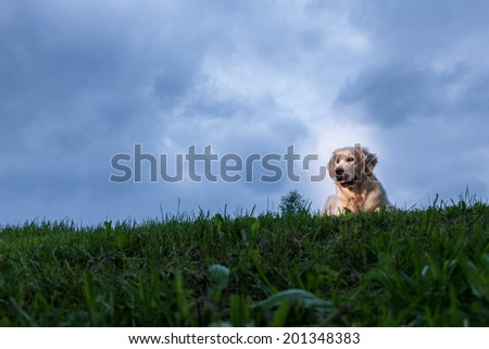 Golden Retriever lying in grass - stock photo
