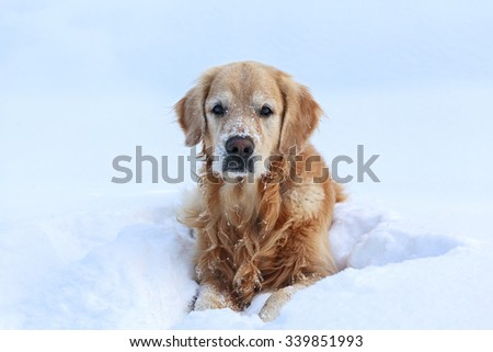 Golden Retriever lying in snow and looking - stock photo