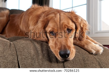 Golden Retriever lying on a chaise lounge and looking down. - stock photo