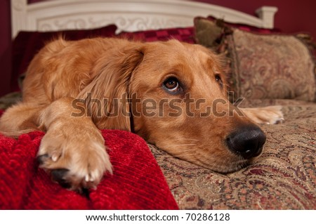 Golden Retriever lying on bed with decorative pillows and blanket. - stock photo