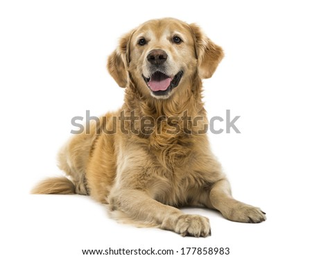 Golden Retriever lying, panting, 11  years old, isolated on white - stock photo