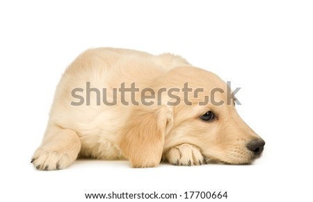 Golden Retriever (3 months) in front of a white background - stock photo