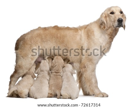 Golden Retriever mother, 5 years old, nursing and her puppies, 4 weeks old, in front of white background - stock photo