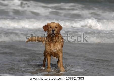 Golden retriever on the beach - stock photo