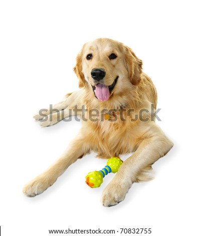 Golden retriever pet dog laying down with toy isolated on white background - stock photo