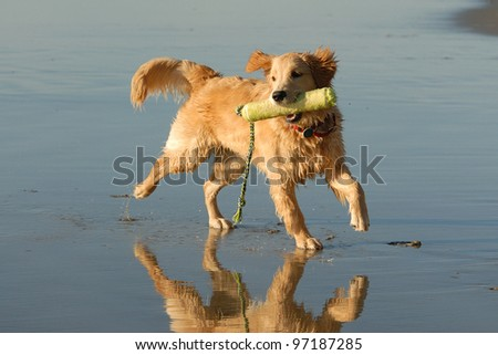 Golden Retriever playing at Del Mar dog beach in San Diego - stock photo