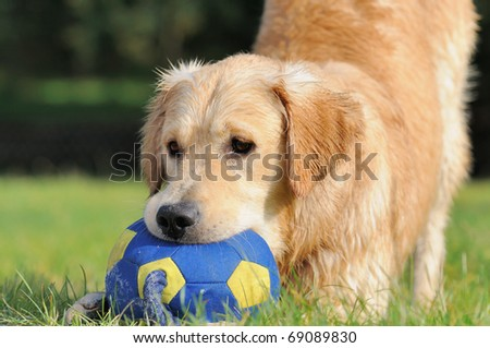 Golden Retriever plays with the ball - stock photo