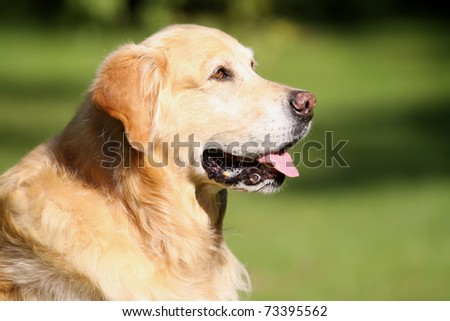 golden retriever portrait - stock photo