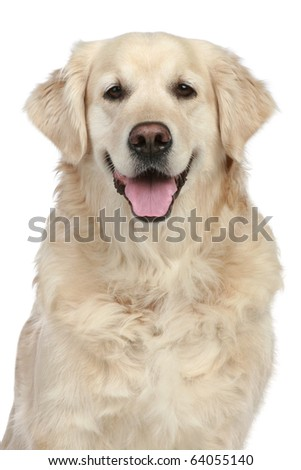 Golden Retriever portrait isolated on a white background - stock photo