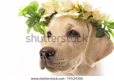 golden retriever posing in studio with flowers on head. Isolated on white - stock photo