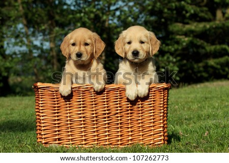 Golden retriever puppies in a wicker basket - stock photo