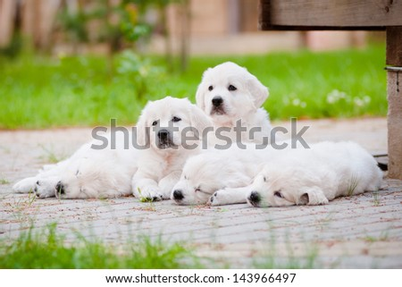 golden retriever puppies resting together - stock photo