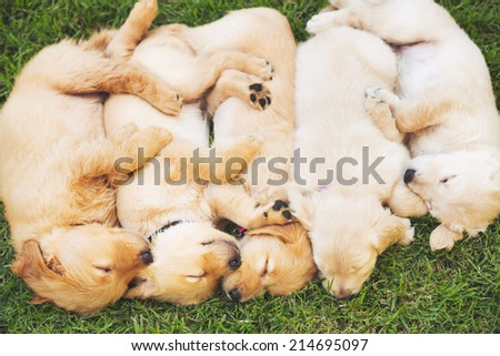 Golden Retriever Puppies Sleeping in the Yard - stock photo