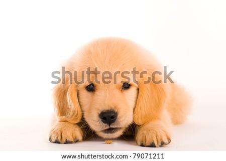Golden Retriever Puppy - stock photo
