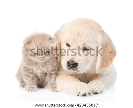 Golden retriever puppy and kitten lying together in front view. isolated on white background - stock photo