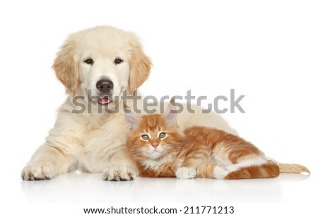 Golden Retriever puppy and kitten posing on white background. Cat and dog series - stock photo