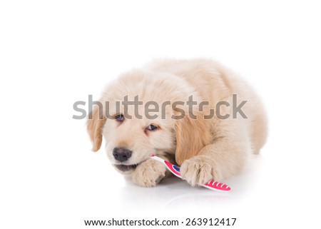 Golden Retriever puppy brushing his teeth biting front view - stock photo