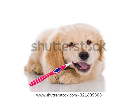 Golden retriever puppy  brushing his teeth looking straight isolated on white background - stock photo