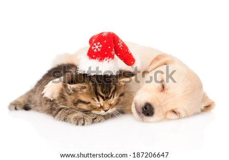 golden retriever puppy dog  and british cat with santa hat sleeping together. isolated on white background - stock photo