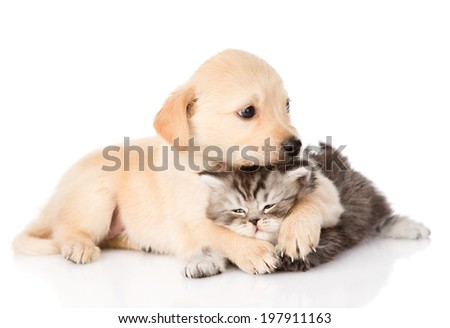 golden retriever puppy dog hugging scottish cat. isolated on white background - stock photo