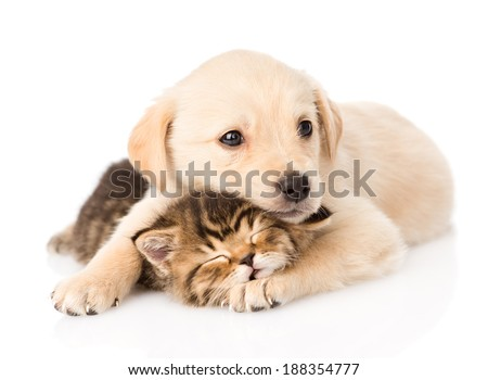 golden retriever puppy dog hugging sleeping british cat. isolated on white background - stock photo
