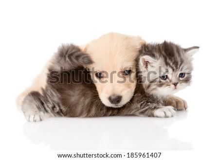 golden retriever puppy dog playing with british kitten. isolated on white background - stock photo