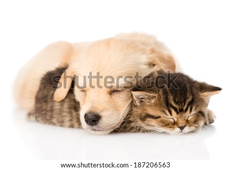golden retriever puppy dog sleep with british kitten. isolated on white background - stock photo