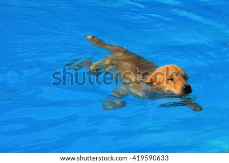 Golden Retriever Puppy Exercise in Swimming Pool - stock photo