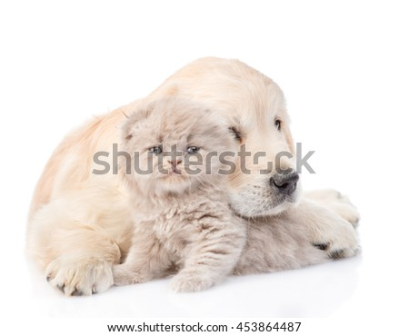 Golden retriever puppy hugging a small kitten. Focus on dog. Isolated on white background - stock photo