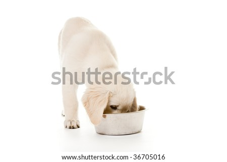 Golden Retriever Puppy Isolated On White Is Eating Dog Food From A Bowl - stock photo