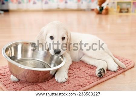 golden retriever puppy lying down near empty feeding bowl - stock photo