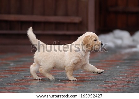golden retriever puppy on the walk - stock photo
